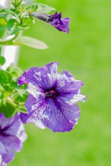 Фиолетовые цветы петунии в саду в весеннее время