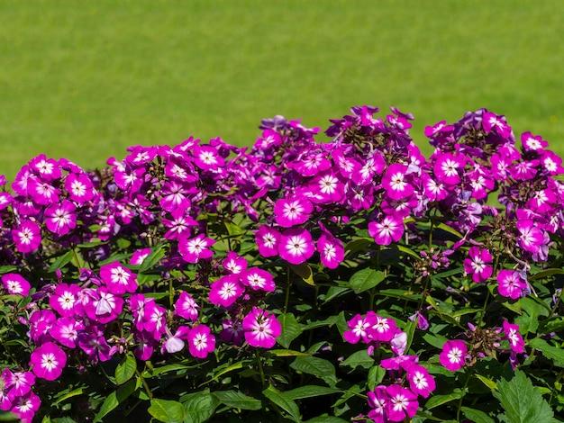 緑の背景の庭に紫のフロックス。