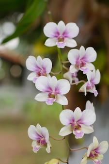 Purple, pink branch orchid flowers, orchidaceae, phalaenopsis