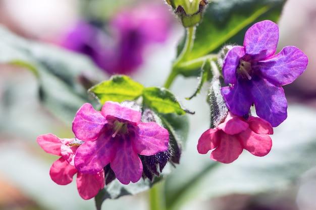 Purple and pink campanulas close up