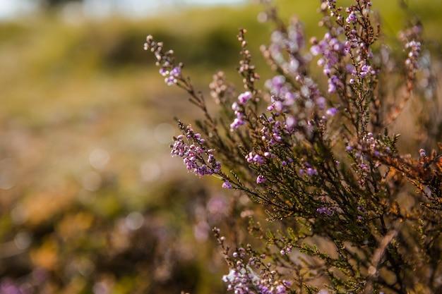 パープルピンクの一般的なヘザー(calluna vulgaris)。造園植物杢。カラフルな伝統的な10月のヨーロッパの花。セレクティブフォーカス