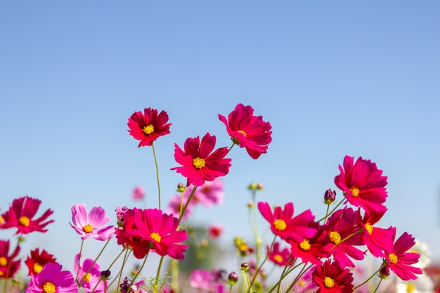 Purple, pink, red, cosmos flowers in the garde n with blue sky and clouds background