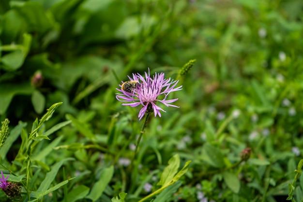 보라색 분홍색 스톡스 애스터 stokesia laevis 꽃과 벌