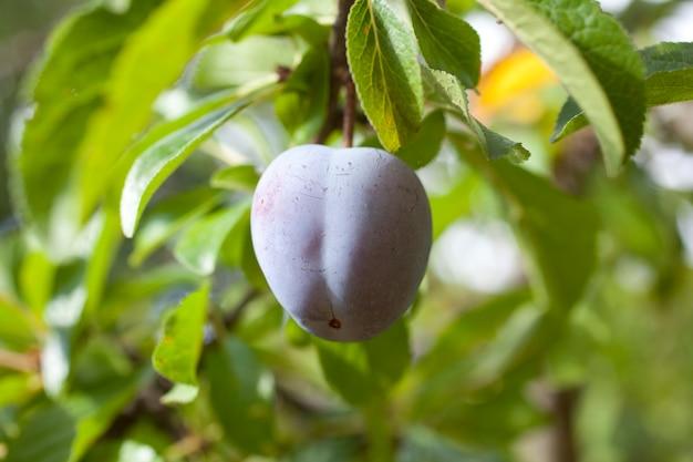 Purple plum on a tree