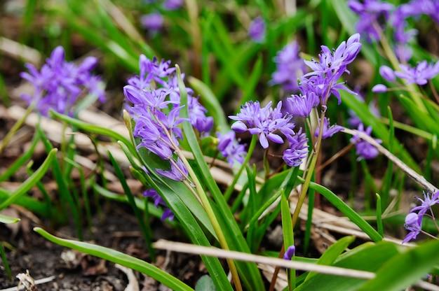 Purple primroses on a grass background