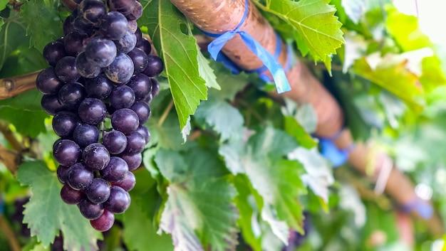 Фиолетовый красный виноград с зелеными листьями на лозе. осенний урожай.