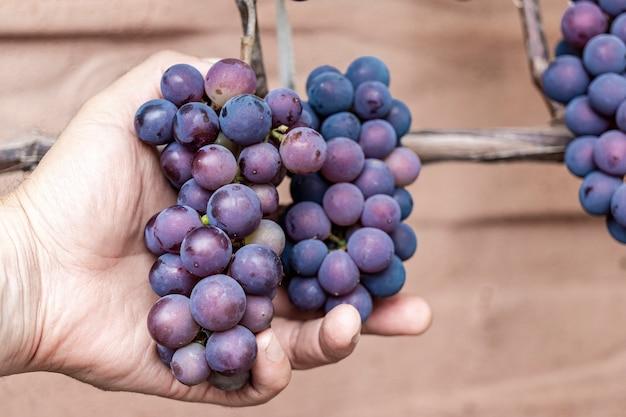 つるに緑の葉を持つ紫の赤いブドウ。新鮮な果物。