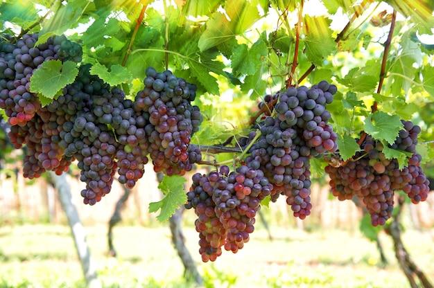Фиолетовый красный виноград с зелеными листьями на лозе. лоза виноградные плодовые растения на открытом воздухе с солнечными лучами