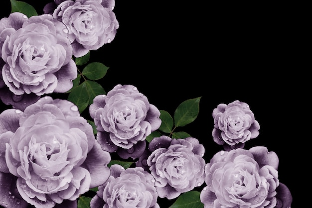 Purple rose on a black background