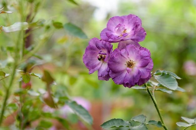 Purple rose flowers on nature background.