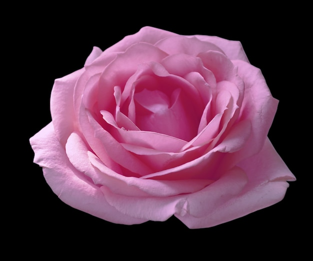 Purple rose isolated on a black background