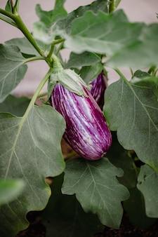 Фиолетовый круглый фрукт на зеленых листьях