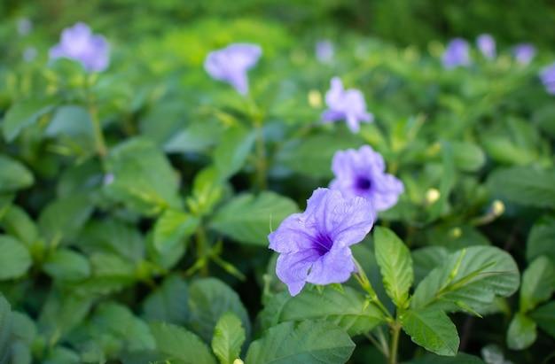 Purple ruellia tuberosa flower blooming