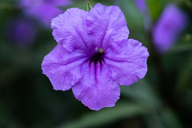 The purple ruellia tuberosa flower blossom in the spring garden background