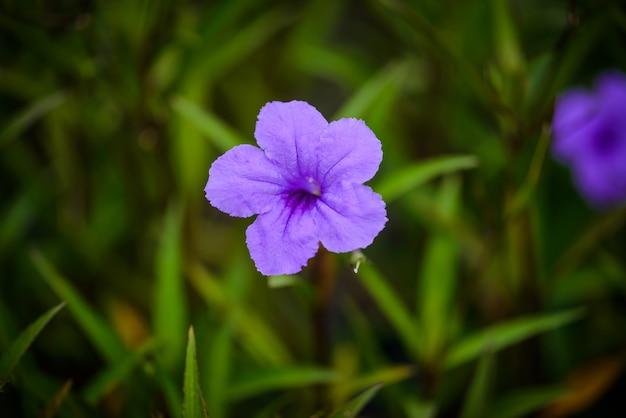 Purple ruellias flower in garden