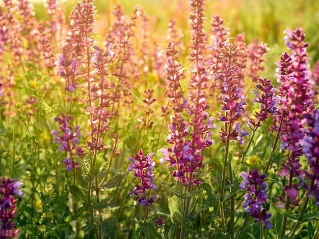 Purple sage flowers background.