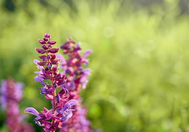 Purple sage flowers wall.