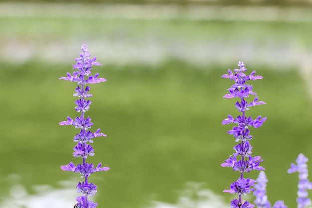 Purple salvia flower in the garden