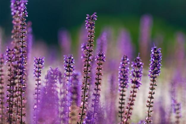 Purple salvia nemorosa flowers in summer