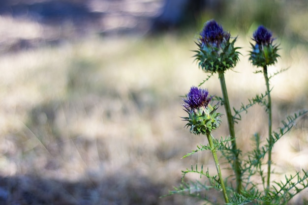 Purple spear thistle flower on a blurred field