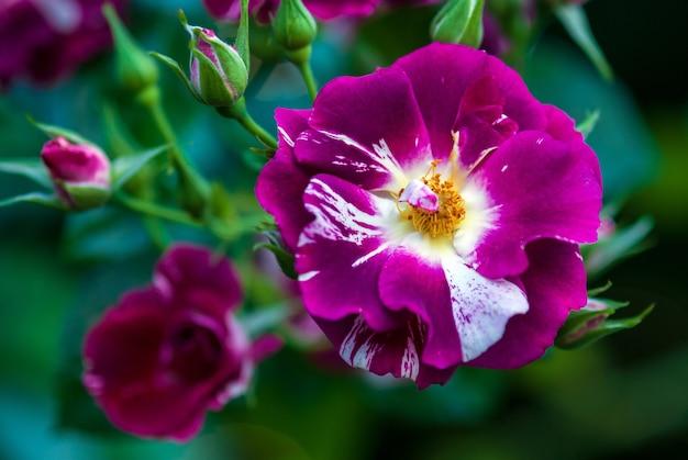 紫のスプラッシュ バラの斑点と白の縞模様