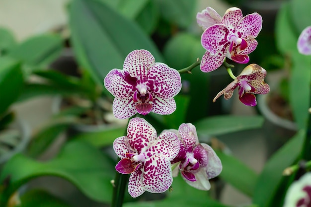 Purple spotted polka dots orchid close-up on green leaves background