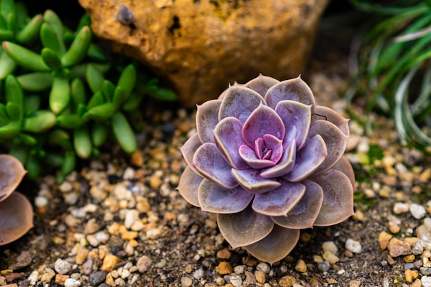 Purple succulent plant grows on soil with rock green plant