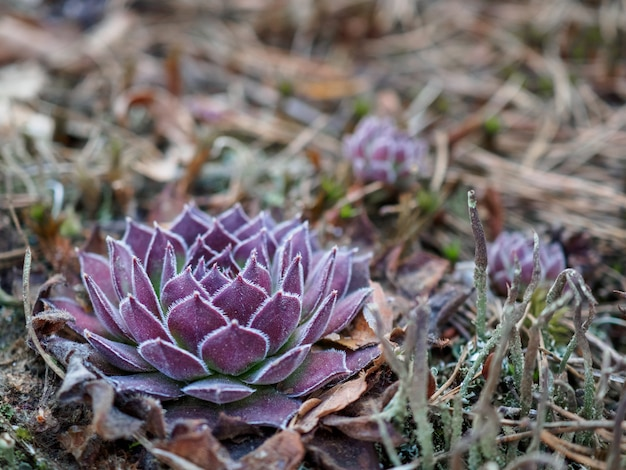 Purple succulent in a spring green forest