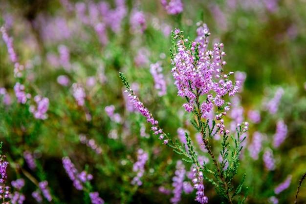 Фиолетовые летние цветы, растущие в лесном мхе.