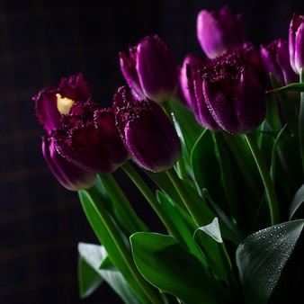Purple terry tulips with water drops on dark background, back light