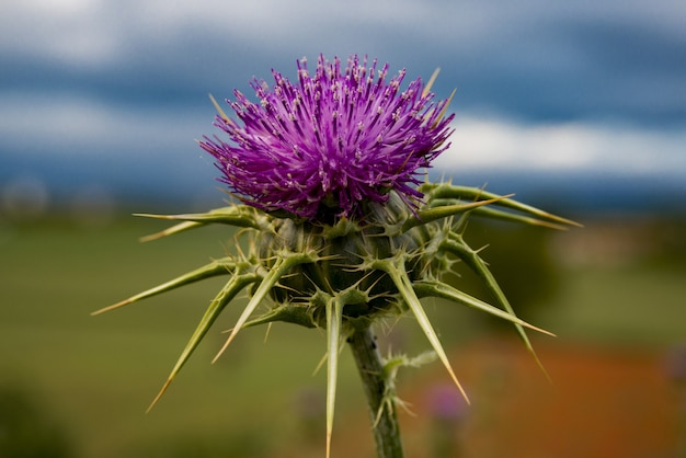 Purple thistle flower in the field