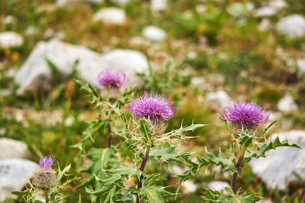 흐릿한 자연가 배경에 보라색 엉겅퀴 꽃