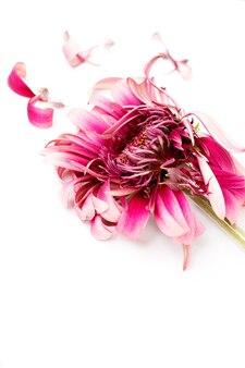 紫の破れた花びらと色あせた紫のガーベラ、分離。