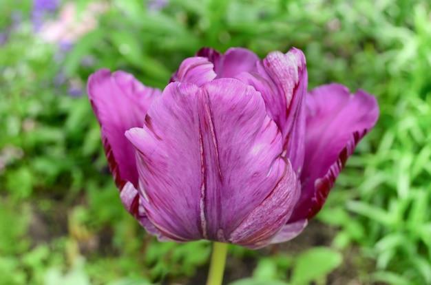 緑の背景に紫のチューリップ