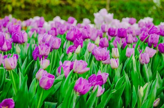 Purple tulips flower field