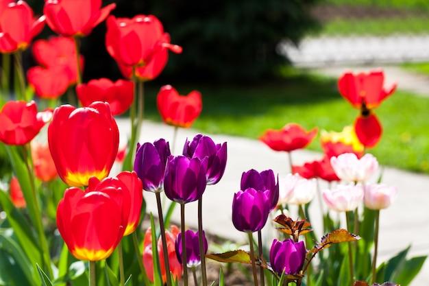 花壇のクローズアップに紫色のチューリップ