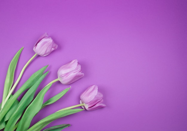 Purple tulips on a purple