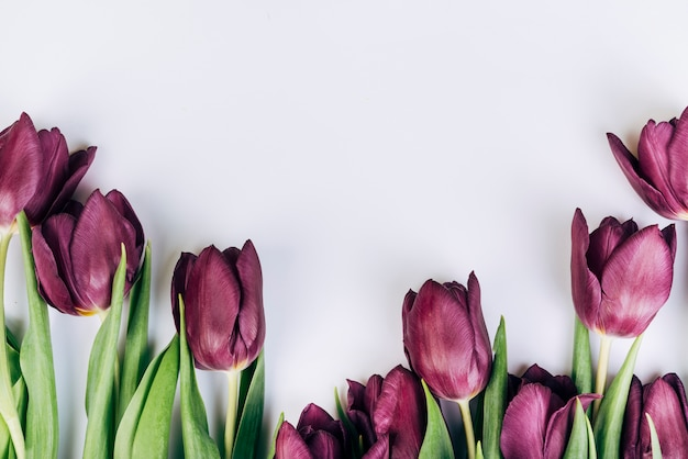 Purple tulips on white background