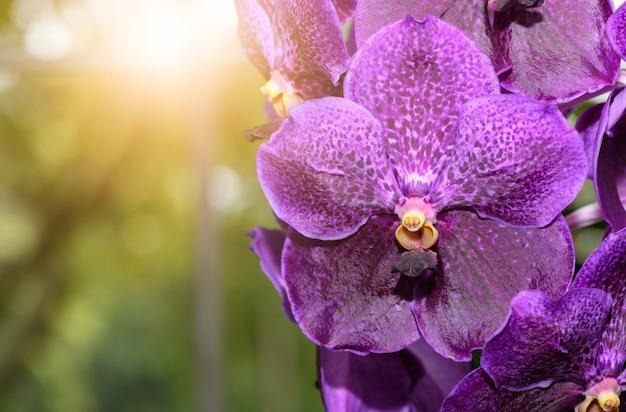 Purple vanda orchid flower with sunlight,
