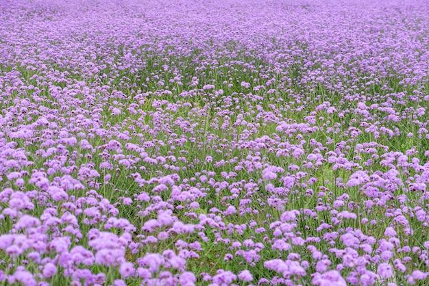 Фиолетовая вербена в поле
