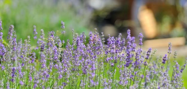 紫紫色日当たりの良いぼやけたラベンダーの花