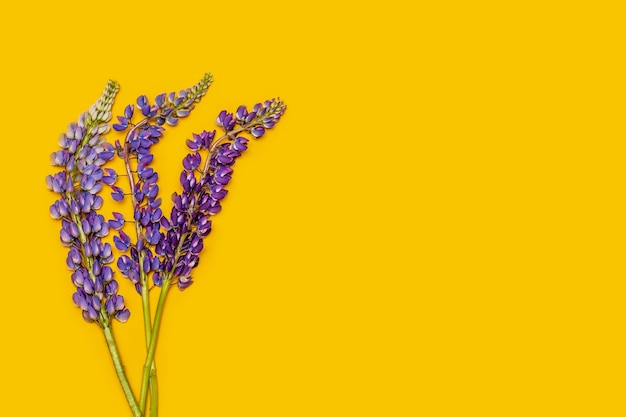 Purple violet lupine on yellow