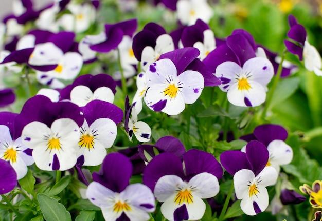 パープルバイオレットパンジー、トリコロールビオラクローズアップ。ビオラの花、ハートシーズ、ジョニージャンプアップまたはフードフラワーの3つの顔を持つ花壇