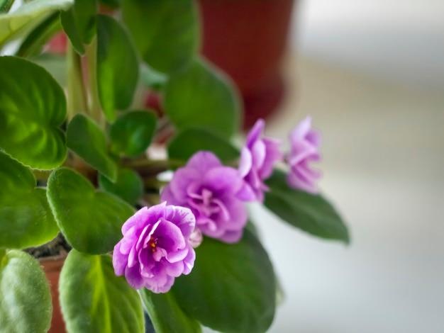 냄비에 녹색 잎으로 피는 보라색 제비꽃