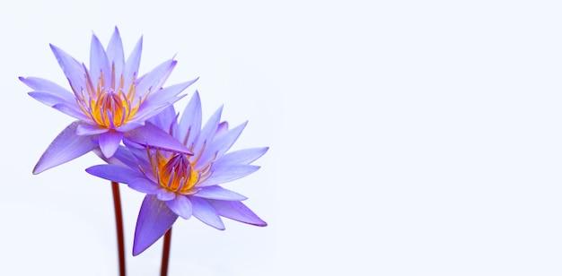 Purple water lilies, violet lotus blooming