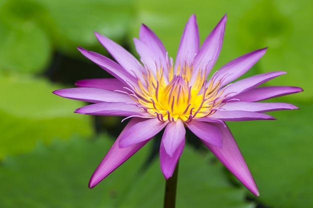 Purple water lily  against green background