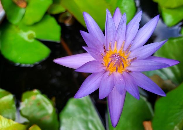 Фиолетовая водяная лилия цветок лотоса с зеленым листом в пруду