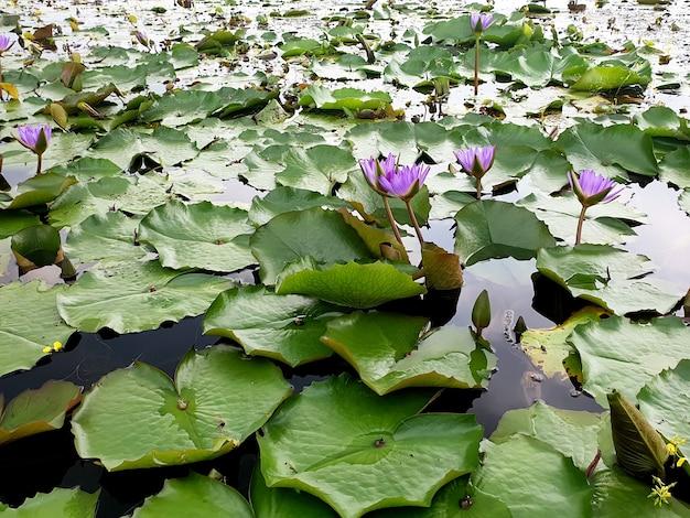 Фиолетовая водяная лилия или цветок лотоса в пруду