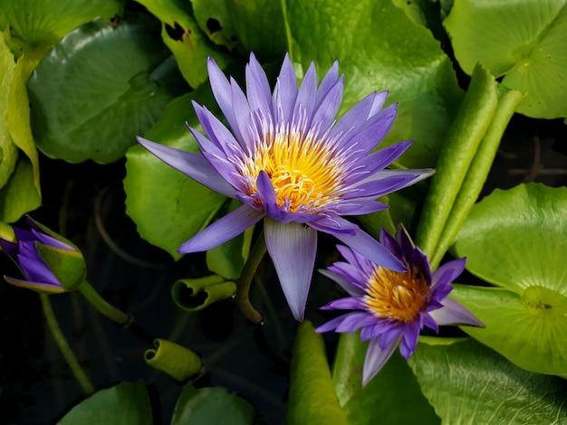 池に緑の葉を持つ紫色の睡蓮または蓮の花