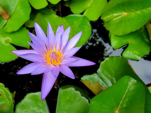 池に緑の葉を持つ紫色の睡蓮lotus花